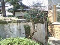 梅の木2.JPG